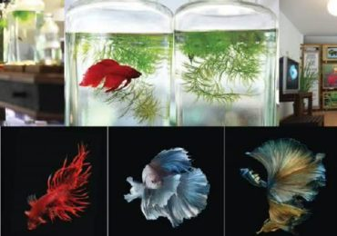 Cabinet agrees to Siamese Fighting Fish as national animal